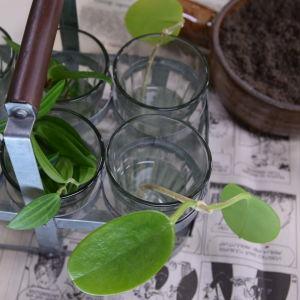 Några sticklingar som lagts i glas med vatten för rotning.