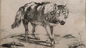 Marcus de Bye: Wolf in Dreiviertelansicht, 1659 (Varg i trefjärdedelsåsikt)