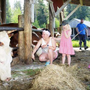 Nevalaisen perhe hoitaa lehmiä.