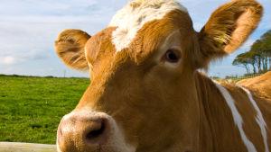 Närbild på en ko som lutar sitt huvud över ett stängsel.