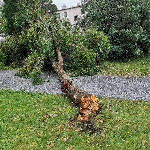Omkullblåst träd i Brändö.