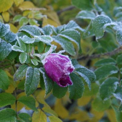 Vit nattfrost på en rosenbuske med gröna blad och en violett ros.
