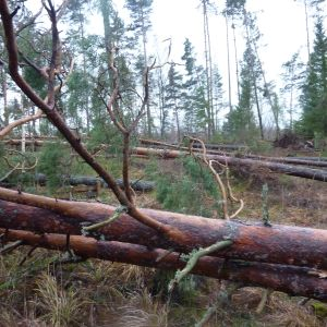 Stormskadad skog i Elmdal