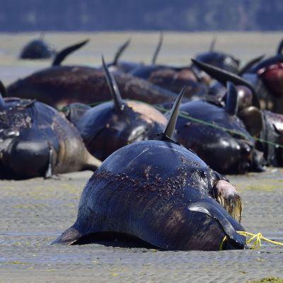 Tiotals grindvalar ses ligga döda på en sandstrand.
