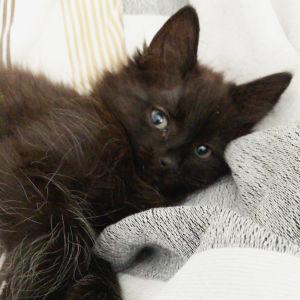 Musta kissanmentu lepää sängyllä