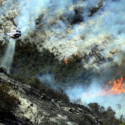 Helikopteri yrittää sammuttaa metsäpaloa Kaliforniassa.