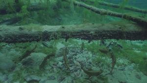 Kuusi puronieriää ui kirkkaassa vedessä lähellä pohjaa puunrungon alla.
