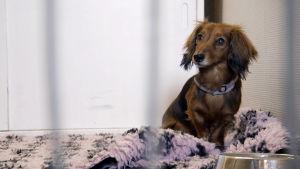 Taxen Kimberly omhändetas i serien Hjärta för djur