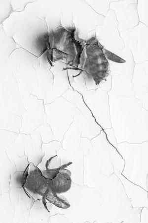 Döda insekter på en krackelerad vägg. Svartvitt foto.