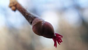 pähkinäpensas kukkii
