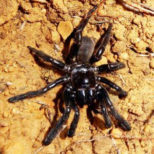 Världens äldsta spindel, fotograferad i januari 2016.