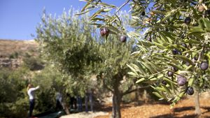 Människorättsrapportörer närvarar vid olivskörden i Hebron, för att motverka trakasserier av israeliska bosättare mot palestinier.