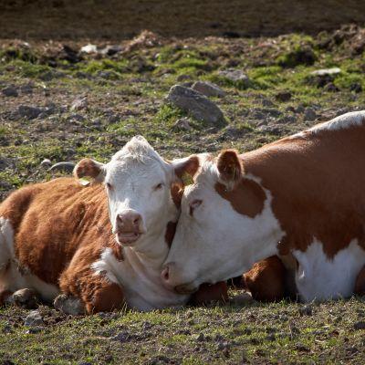 Lehmiä pellolla.