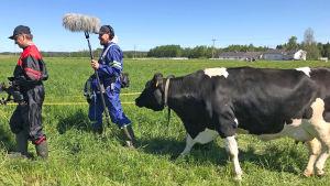 Kandit-kuvaustiimi ja lehmä laitumella