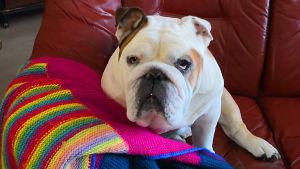 Valkoinen bulldoggi Unto istuu sohvalla