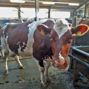 Lehmä seisoo navetassa