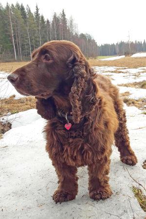 Luppakorvainen koira seisoo lumisella pellolla