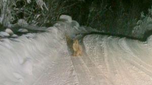 Ett av lodjuren som irrat omkring i Eskilom.