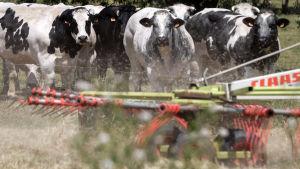 Kor i ett tort landskap.