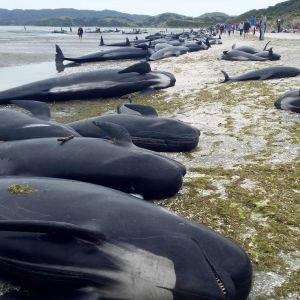 Hundratals döda grindvalar ligger nu längs stranden i Golden Bay.