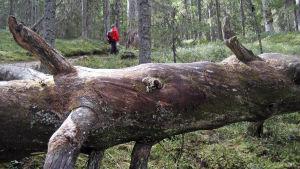 Retkeilijä metsässä
