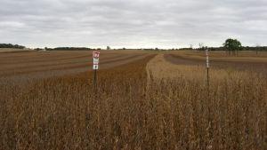 Ett fält med sojaodling i USA