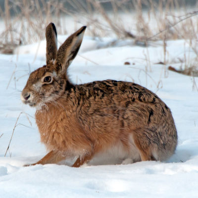 Hare sitter i snödriva