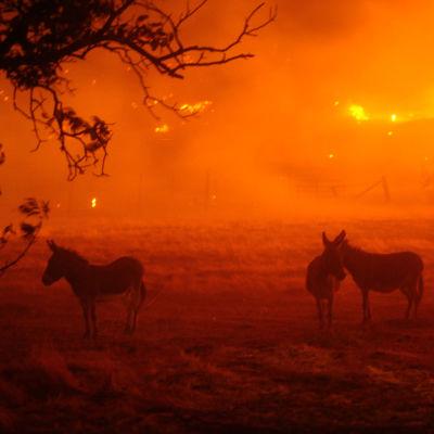Tre åsnor står på en åker. I bakgrunden syns massiva skogsbränder