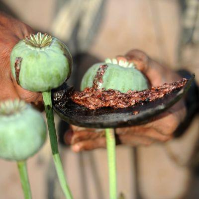 Lähikuvassa näkyy, kuinka viljelijä kaapii käyrällä veitsellä oopiumia unikon siemenkodasta.