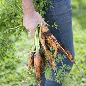 hand håller i knippe med morötter