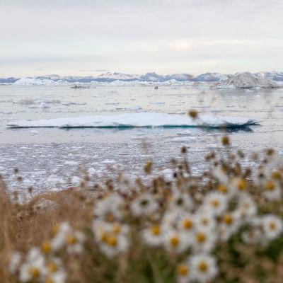 Flytande isberg utanför Illullissat, Grönland.