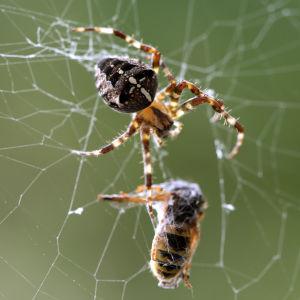 ampiainen hämähäkin verkossa