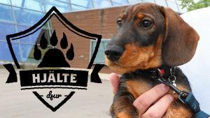 En hundvalp av rasen tax. Hunden vilar på sin ägares händer som har lyft hunden upp i luften. Ägarens ansikte syns inte. På vänst. sida i förgrunden loggan för Yle Huvudstadsregionens artikelserie Hjältedjur.