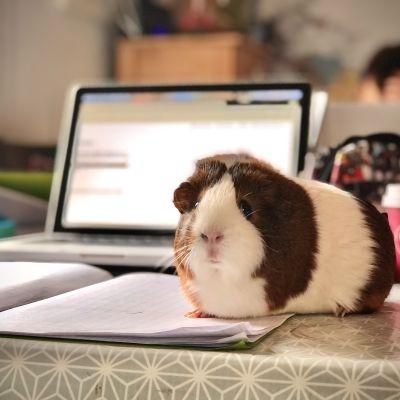 Ett marsvin sitter bordet vid en dator.