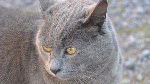 En grå katt