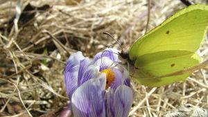 En gul citronfjäril har landat på en lila krokus.