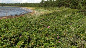 Vresrosbuskage täcker stranden vid en vik.
