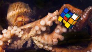 Mustekala leikkii rubikin kuutiolla