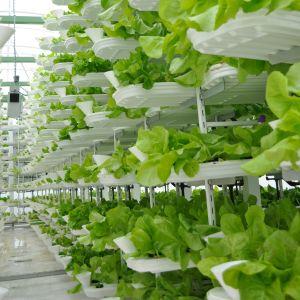 monikerrosviljelyä kasvihuoneessa