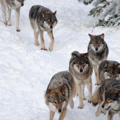 Vargar i flock i snön.
