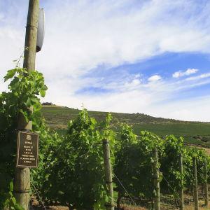 Åtta högtalare spelar musik för syrah-druvorna på vingården DeMorgenzon i Stellenbosch under de ljusa timmarna på dygnet.