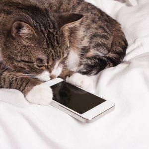 Surullinen kissa katsoo kännykkää.
