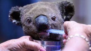 En uttorkad och skadad koala behandlas på Port Macquarie Koala Hospital efter att ha räddats