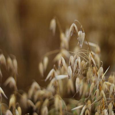 Havre växer på åker, ax i närbild.