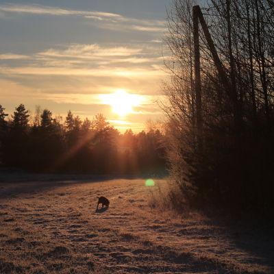 En frusen åker i solnedgången.