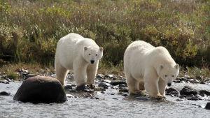 jääkarhujen kesä