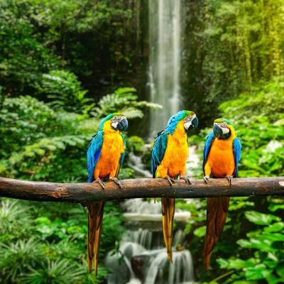 Papegojor i regnskogen.