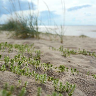 Kasveja Vattajan hiekkarannoilla.