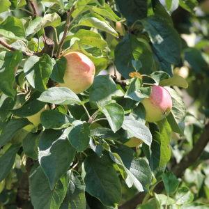 Äpplen i en äppelträd.