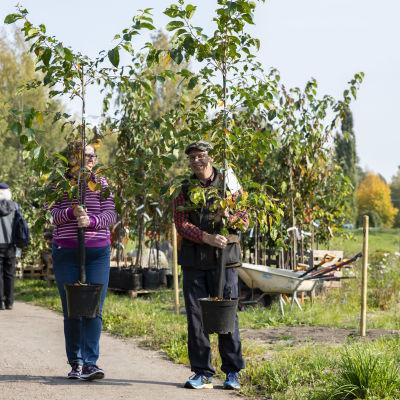 Hanna ja Kimmo Ruokoniemi kantamassa kirsikan taimia.
